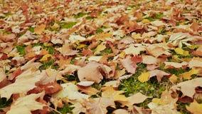 Foglie di acero cadute variopinte che si trovano sulla terra con erba verde, stagione di autunno Fucilazione nel moto con elettro archivi video