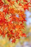 Foglie di acero che cambiano i colori nel tempo di autunno Immagini Stock Libere da Diritti