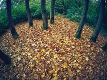 Foglie di acero che si trovano sulla terra in autunno circondata dagli alberi Immagine Stock