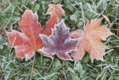 Foglie di acero congelate di autunno Fotografia Stock