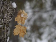 Foglie di acero congelate nell'inverno fotografia stock libera da diritti