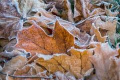 Foglie di acero congelate su erba Fotografie Stock Libere da Diritti