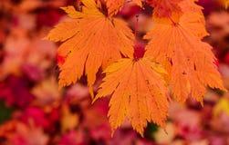 Foglie di acero dell'arancia di autunno Fotografia Stock