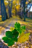 Foglie di acero della tenuta della mano sul fondo di autunno Fotografia Stock Libera da Diritti