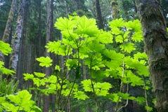 Foglie di acero della vite nella foresta della conifera Fotografia Stock