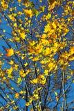 Foglie di acero di autunno fotografia stock libera da diritti
