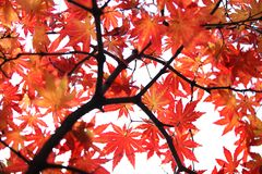 Foglie di acero di autunno Fotografia Stock