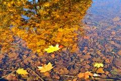 Foglie di acero di autunno cadute nell'acqua Fotografie Stock