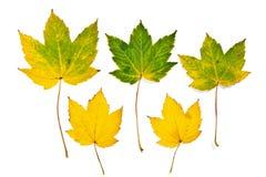 Foglie di acero di autunno isolate su priorità bassa bianca con il ritaglio Fotografie Stock