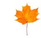 Foglie di acero di autunno la foglia dell'acero, utilizzata come emblema di Fotografia Stock Libera da Diritti