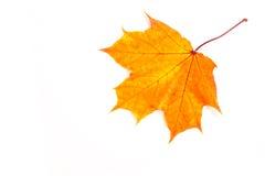 Foglie di acero di autunno la foglia dell'acero, utilizzata come emblema di Immagine Stock