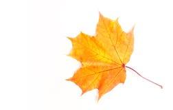 Foglie di acero di autunno la foglia dell'acero, utilizzata come emblema di Immagine Stock Libera da Diritti