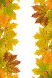 Foglie di acero di autunno su un fondo bianco di background Fotografie Stock