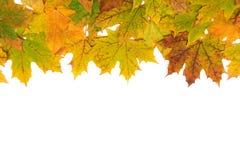 Foglie di acero di autunno su un fondo bianco di background Fotografie Stock Libere da Diritti