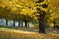 Foglie di acero di colore giallo del fogliame di caduta dall'albero di autunno Fotografie Stock Libere da Diritti