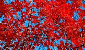 Foglie di acero di Japaneze Fotografia Stock Libera da Diritti