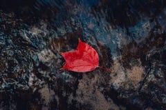 Foglie di acero di rosso di autunno della foglia di Autumn Maple belle Immagini Stock