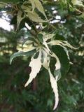foglie di acero di Tri colore Fotografie Stock Libere da Diritti