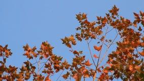 Foglie di acero e cielo blu video d archivio