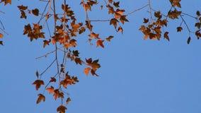 Foglie di acero e cielo blu archivi video