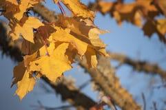 Foglie di acero e rami gialli ed arancio al sole con cielo blu nel fondo Immagini Stock