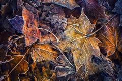 Foglie di acero fredde congelate del ghiaccio di mattina del gelo di autunno Immagini Stock
