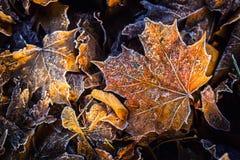 Foglie di acero fredde congelate del ghiaccio di mattina del gelo di autunno Fotografie Stock Libere da Diritti