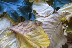 Foglie di acero gialle Fotografia Stock Libera da Diritti