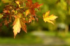 Foglie di acero gialle, arancio e rosse di autunno sull'albero in parco Fotografia Stock