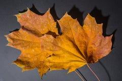 Foglie di acero gialle di autunno Immagini Stock Libere da Diritti