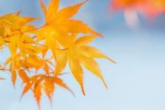 Foglie di acero gialle in autunno Fotografia Stock