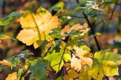 Foglie di acero gialle di autunno su un ramo di un albero di acero sopra una p Fotografia Stock