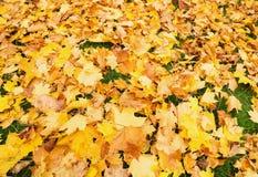 Foglie di acero gialle cadute sulla terra in autunno Fotografia Stock