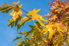 Foglie di acero gialle contro lo sfondo di cielo blu luminoso Primo piano naturale del fondo di autunno fotografie stock libere da diritti