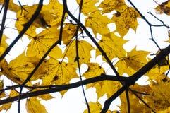 Foglie di acero gialle Foglie dell'ultimo sui rami dell'acero verso la metà dell'autunno Fotografia Stock