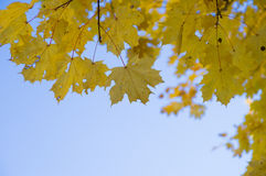 Foglie di acero gialle di caduta contro cielo blu Fotografie Stock Libere da Diritti