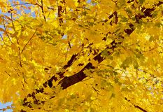 Foglie di acero gialle e verdi brillanti Fotografie Stock Libere da Diritti