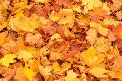 Foglie di acero gialle ed arancio vibranti di autunno Fotografie Stock