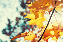 Foglie di acero gialle nella foresta di autunno al giorno soleggiato Fotografie Stock
