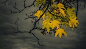Foglie di acero gialle sole Fotografie Stock