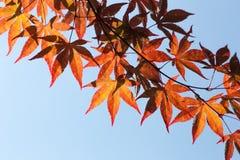 Foglie di acero giapponesi immagini stock libere da diritti