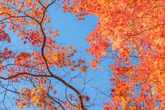 Foglie di acero giapponesi in autunno Immagine Stock Libera da Diritti