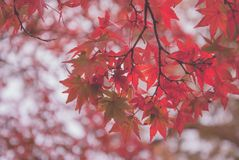 Foglie di acero giapponesi rosse fotografia stock libera da diritti