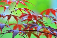 Foglie di acero giapponesi rosse nel fuoco molle Fotografie Stock
