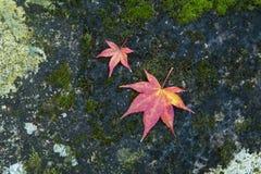 Foglie di acero giapponesi sulla pietra immagine stock