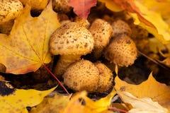 Foglie di acero di Honey Agarics Armillaria Mellea With dei funghi fotografie stock