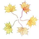 Foglie di acero luminose di autunno dell'acquerello di colore isolate su fondo bianco Fotografie Stock Libere da Diritti