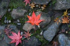 Foglie di acero a Nara, Giappone immagini stock libere da diritti