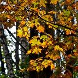 Foglie di acero nella foresta di autunno. Immagini Stock Libere da Diritti