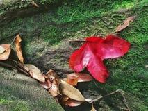 Foglie di acero nella foresta, Phukradueng, Tailandia Immagine Stock